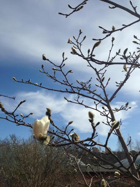 Magnolian hör till det som först vaknar på lotten. Men än är det lång tid kvar..